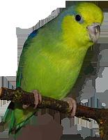 Gelbmasken-Sperlingspapageien