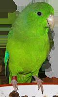 Grünbürzel-Sperlingspapagei